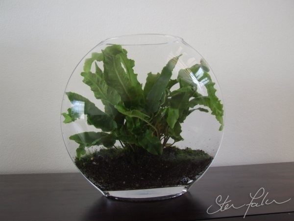 Hart's Tongue Fern Terrarium