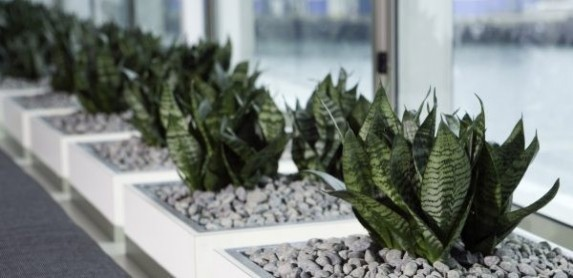 Sansevieria low res