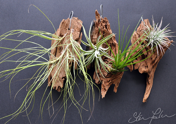 Mounting Air Plants Tillandsias